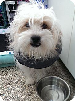Maltese/Poodle (Miniature) Mix Dog for adoption in Thousand Oaks, California - Yoshi