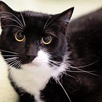 Norwegian Forest Cat Cat for adoption in Raleigh, North Carolina - Tucker K