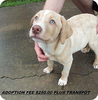 Labrador Retriever/Australian Shepherd Mix Puppy for adoption in Kittery, Maine - Andrew