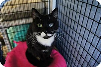 Domestic Shorthair Cat for adoption in New Milford, Connecticut - Sadie- See me at Petco!