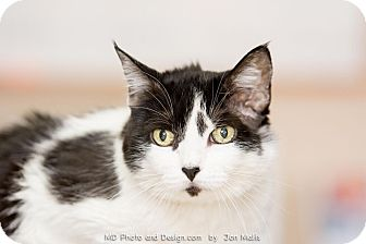 Domestic Mediumhair Cat for adoption in Fountain Hills, Arizona - Isabelle