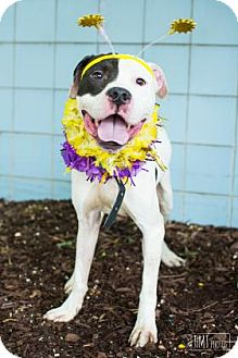 Pit Bull Terrier Mix Dog for adoption in Reisterstown, Maryland - Billy Goat