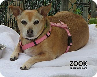 Jack Russell Terrier/Rat Terrier Mix Dog for adoption in Elizabeth City, North Carolina - Zook  SOS