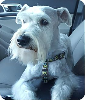 Schnauzer (Miniature) Dog for adoption in Fort Worth, Texas - SHELBY