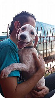 Bichon Frise Mix Dog for adoption in Calgary, Alberta - LENA
