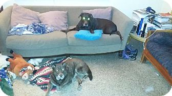 Labrador Retriever/Chesapeake Bay Retriever Mix Dog for adoption in Ocean Ridge, Florida - Ella & Zoe (Bonded Pair)