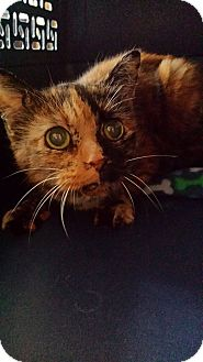 Domestic Shorthair Cat for adoption in Middletown, Ohio - Kim