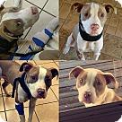 Adopt A Pet :: Doc Holliday - Mandeville, LA
