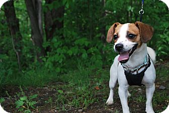 Jack Russell Terrier/Beagle Mix Dog for adoption in New Castle, Pennsylvania - Cassie