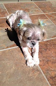 Shih Tzu Mix Dog for adoption in Alpharetta, Georgia - JingLi