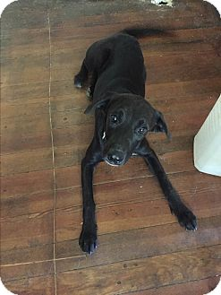 Labrador Retriever Mix Puppy for adoption in Kittery, Maine - Mae