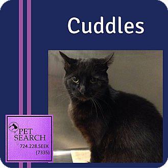 Domestic Shorthair Cat for adoption in Washington, Pennsylvania - Cuddles
