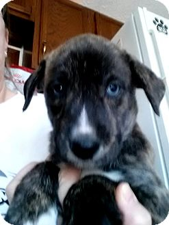 Labrador Retriever/Border Collie Mix Puppy for adoption in Fenton, Missouri - Gus