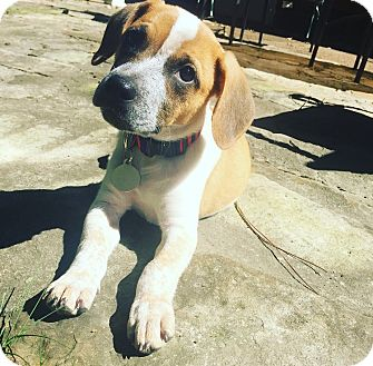 Beagle Mix Puppy for adoption in Hagerstown, Maryland - Sam