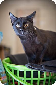 Domestic Mediumhair Cat for adoption in Madionsville, Kentucky - Cat Man