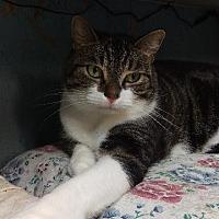 Domestic Shorthair Cat for adoption in Brainardsville, New York - Carson