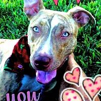 Adopt A Pet :: Honey - Miami, FL