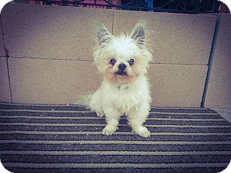 Pomeranian/Mixed Breed (Small) Mix Dog for adoption in Las Vegas, Nevada - Yoshi