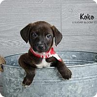 Adopt A Pet :: Koko - Denver, CO