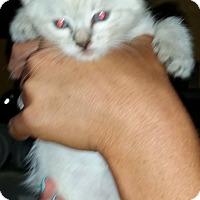 Adopt A Pet :: marshmellow - temecula, CA