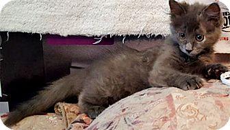 Domestic Mediumhair Kitten for adoption in Youngsville, North Carolina - Drusilla17