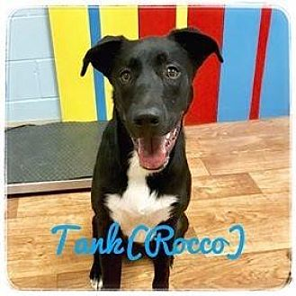 German Shepherd Dog/Labrador Retriever Mix Dog for adoption in Ocala, Florida - ROCCO (TANK)
