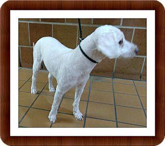 Bichon Frise Dog for adoption in Tulsa, Oklahoma - Thor - IL