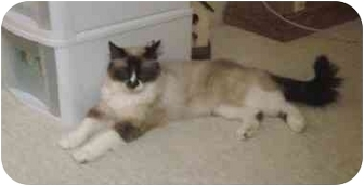 Ragdoll Cat for adoption in Keizer, Oregon - Baby in California