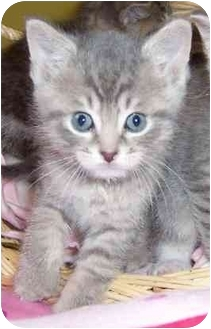 Domestic Shorthair Kitten for adoption in Taylor Mill, Kentucky - Alphie