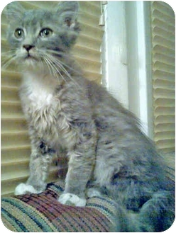 Domestic Mediumhair Kitten for adoption in Mt. Prospect, Illinois - Alf