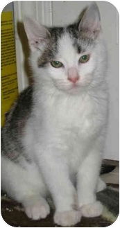 Domestic Shorthair Kitten for adoption in Mt. Prospect, Illinois - Alexander