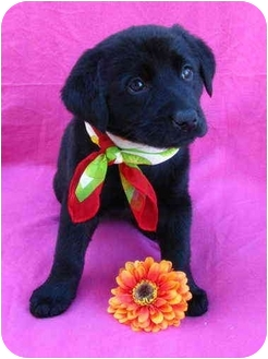 Labrador Retriever Mix Puppy for adoption in Irvine, California - Maryann