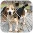 Photo 1 - Beagle Dog for adoption in Portland, Ontario - Hazel