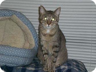 Domestic Shorthair Cat for adoption in Laguna Woods, California - Louis