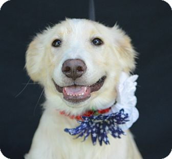 Golden Retriever Mix Puppy for adoption in Plano, Texas - Jazz