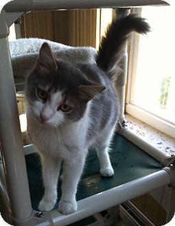 Domestic Mediumhair Cat for adoption in Greensburg, Pennsylvania - Rilke