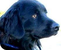 Golden Retriever/Flat-Coated Retriever Mix Dog for adoption in Wakefield, Rhode Island - WINSTON(ADORES CHILDREN!! WOW!