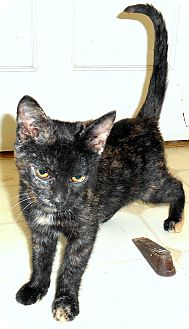 Domestic Shorthair Kitten for adoption in Chattanooga, Tennessee - Maleah