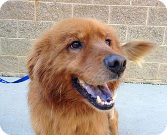 Golden Retriever Mix Dog for adoption in BIRMINGHAM, Alabama - Eddie