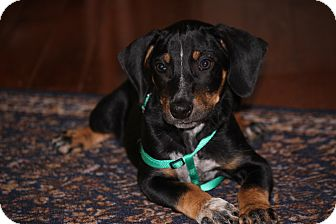 Beagle/Dachshund Mix Puppy for adoption in West Milford, New Jersey - HUNTER- 9 weeks