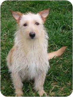Wheaten Terrier Mix Dog for adoption in Carrollton, Texas - Tabitha