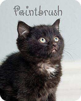 Domestic Shorthair Kitten for adoption in Somerset, Pennsylvania - Paintbrush