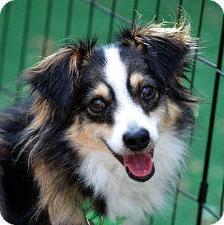 Australian Shepherd Dog for adoption in Garland, Texas - Kai