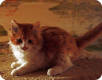 Domestic Longhair Kitten for adoption in Allentown, Pennsylvania - Kovu (EC)