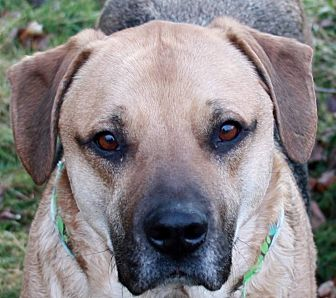 German Shepherd Dog/Labrador Retriever Mix Dog for adoption in SOUTHINGTON, Connecticut - Rocky