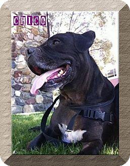 American Bulldog Mix Dog for adoption in Lompoc, California - Chico Meatball
