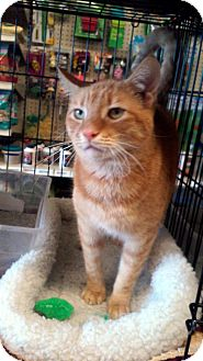 Domestic Shorthair Cat for adoption in Gilbert, Arizona - Pickles