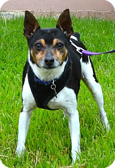 Rat Terrier Mix Dog for adoption in Simi Valley, California - Ranger