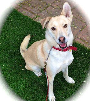 Husky/Labrador Retriever Mix Dog for adoption in Burbank, California - Amazing Maya-VIDEO