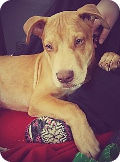 Pit Bull Terrier Puppy for adoption in Fort Wayne, Indiana - Ivan